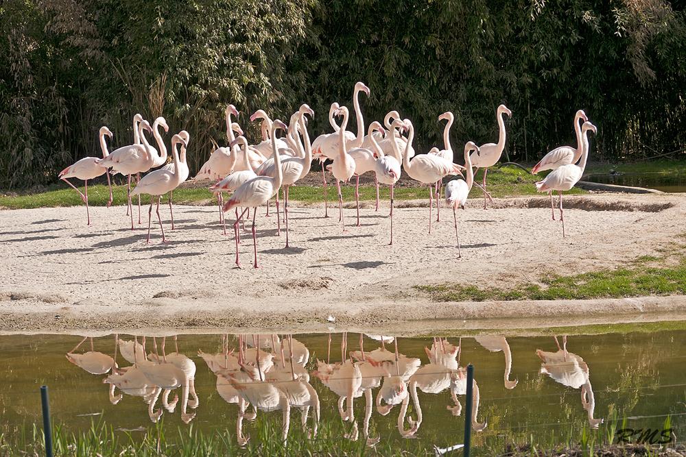 Flamingos in der Stuttgarter Wilhelma