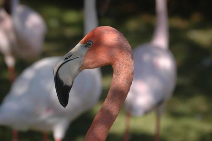 Flamingos in Mannheim