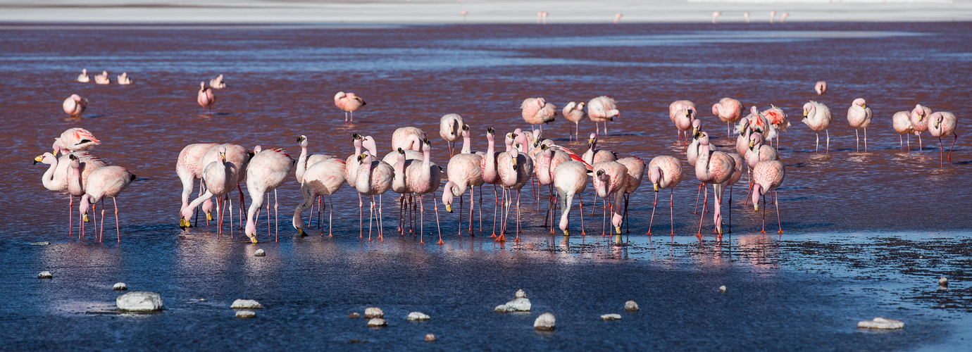 [ … Flamingos -  Laguna Colorada ]