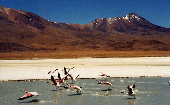 flamingos - laguna en bolivia