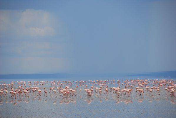 Flamingos Lake Natron