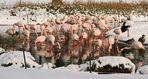 Flamingos mit Untermietern