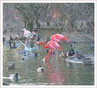 Flamingos verirrt 2