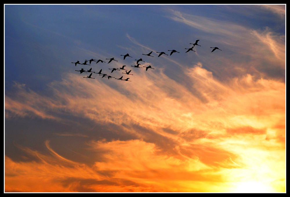 Flamingos Volandos