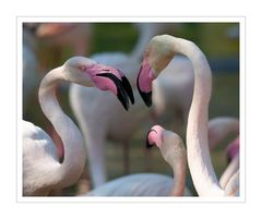 Flamingos Who is Who