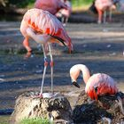 flamingos°2