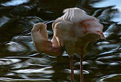 flamingospiegelbild