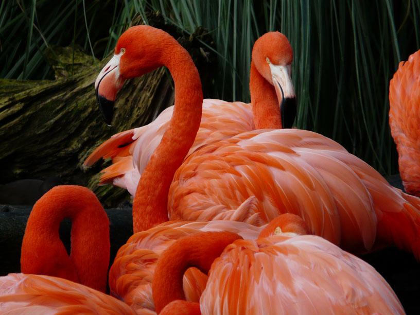 flammende Flamingos