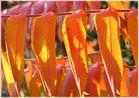 Flammende Herbstfarben