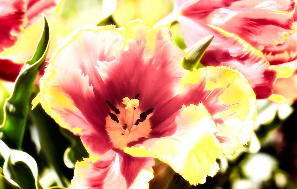 Flammende Tulpen