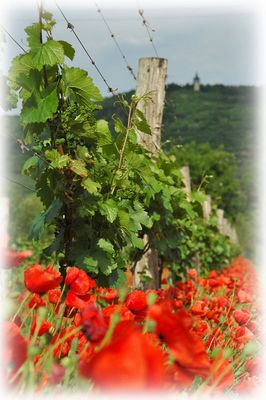 flammender Weingarten