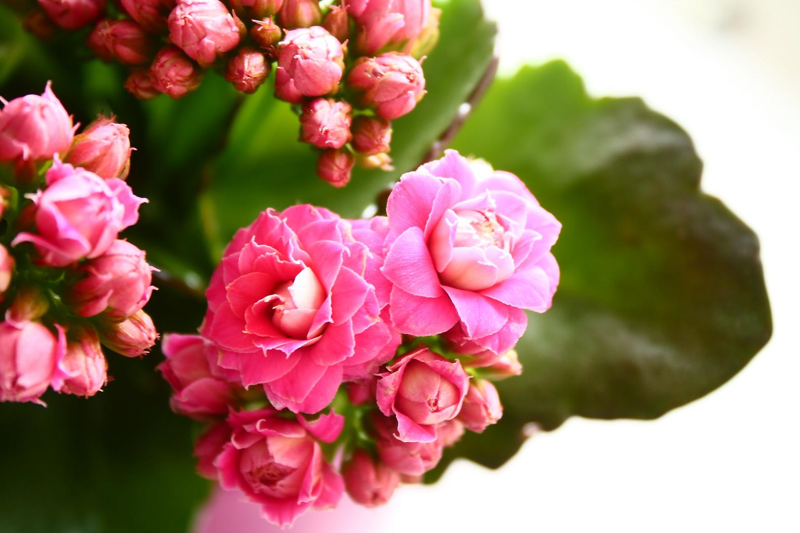 Flammendes Käthchen - Kalanchoe blossfeldiana