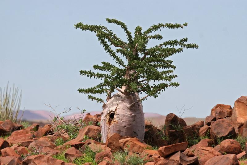 Flaschenbaum im Kaokoveld
