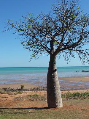 Flaschenbaum in Broome, Western Australia