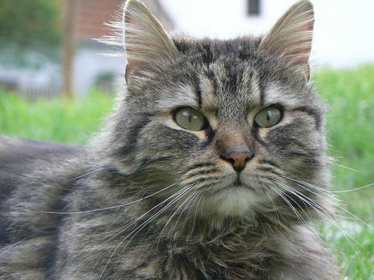 Flausche - Katze