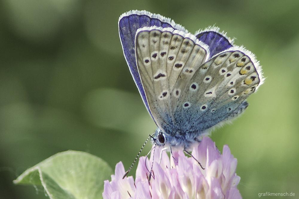 Flauschiger Flattermann/Schmetterling