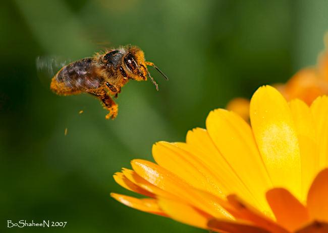 flaying bee
