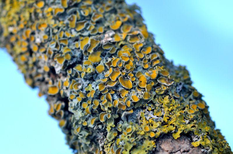 Flechte auf Baum