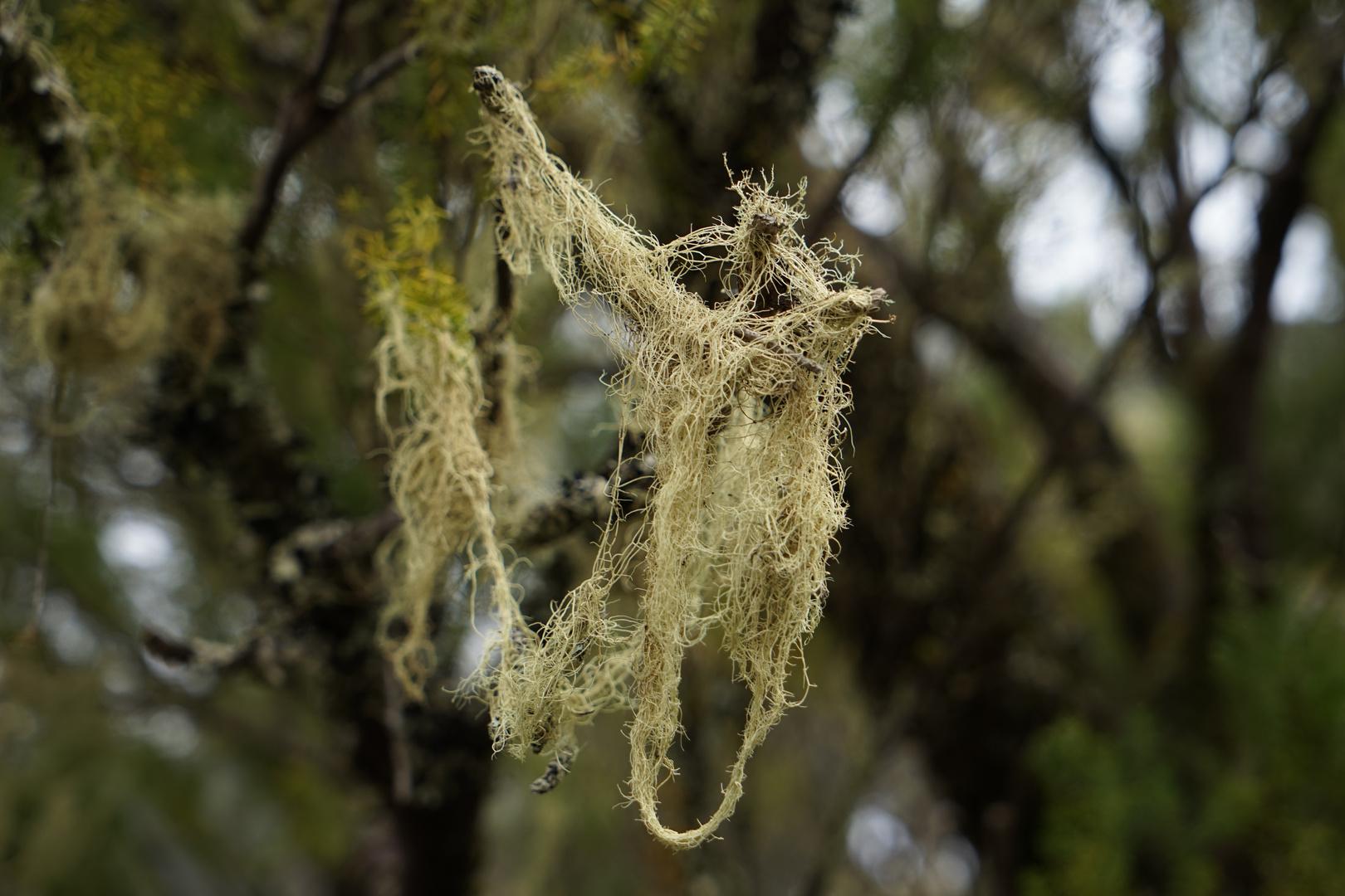 Flechte auf der Cumbre von El Hierro, wo es gerne feucht und kühl ist