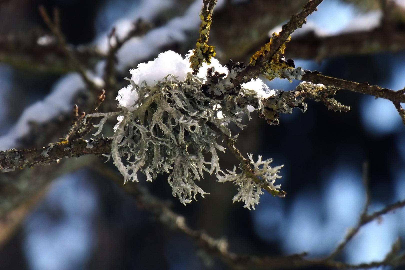 ....Flechte in der Wintersonne