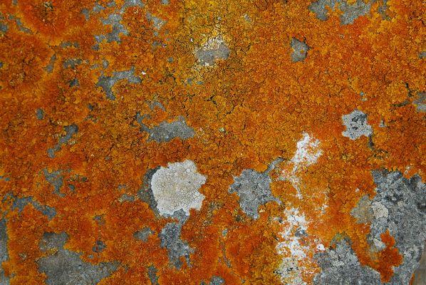 Flechten auf einem Stein ( Menorca )