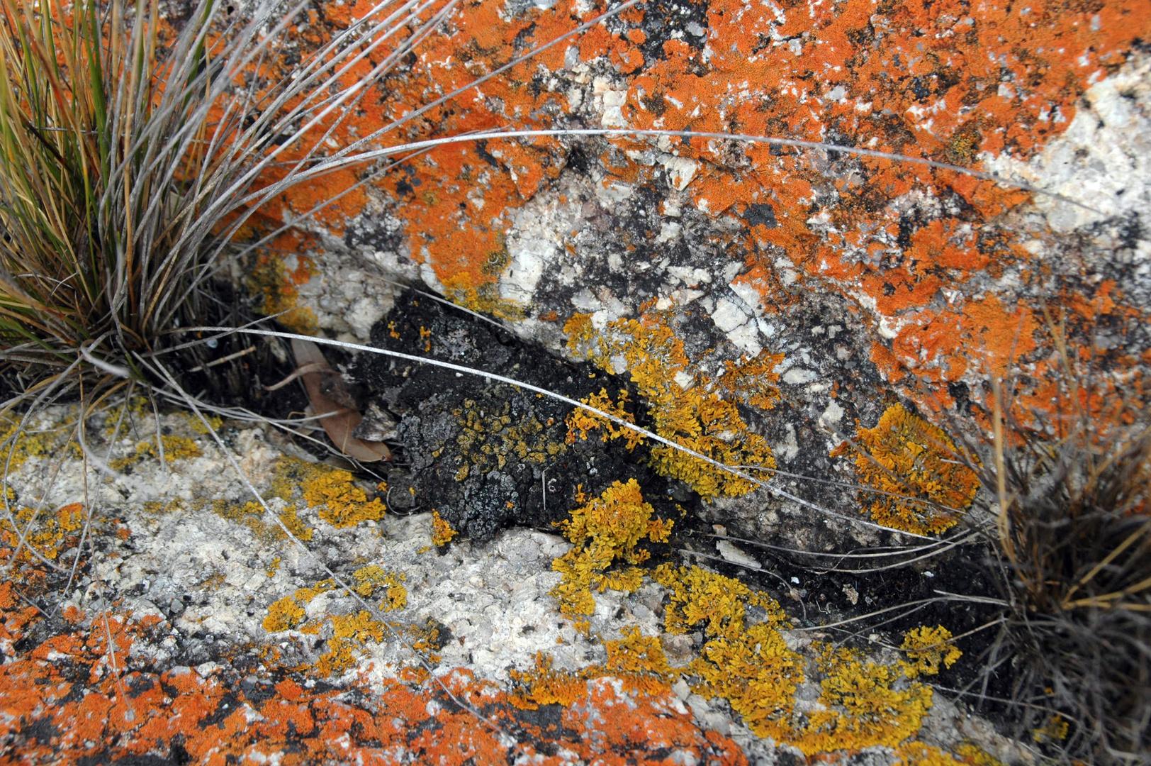 Flechten, Küste Bicheno, Tasmanien