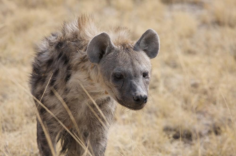 Fleckenhyäne - Etoscha Namibia