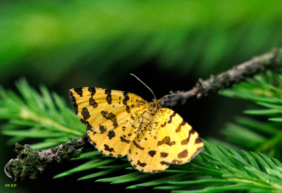 Fleckenspanner-(Pseudopanthera-macularia)