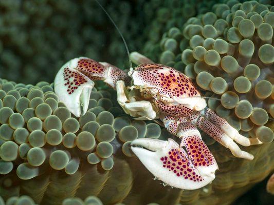 Fleckentupfen-Porzellankrabbe (Neopetrolisthes maculatus)