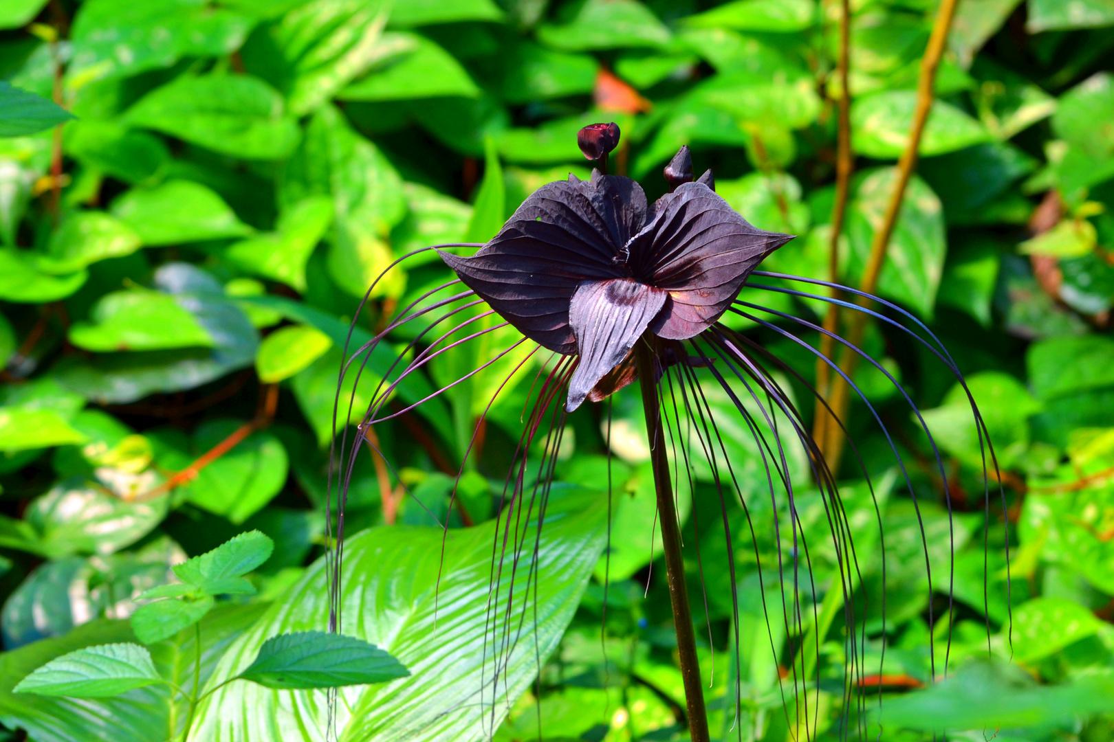 Fledermaus-Blume
