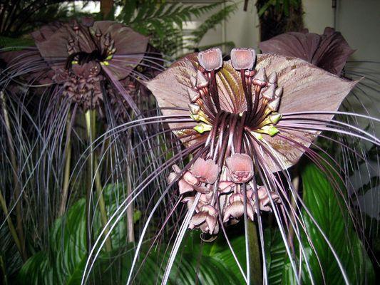 Fledermausblume (auch genannt Tiger Schnurrhaare, Teufelsblume oder lat. Tacca chantrieri)