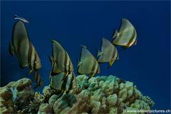 Fledermausfische auf Putzerstation