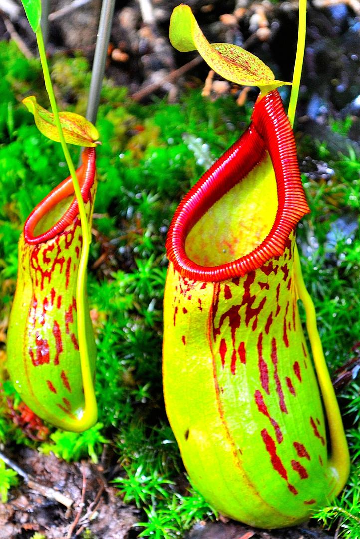 fleisch fressende pflanze foto bild pflanzen pilze flechten bl ten kleinpflanzen. Black Bedroom Furniture Sets. Home Design Ideas