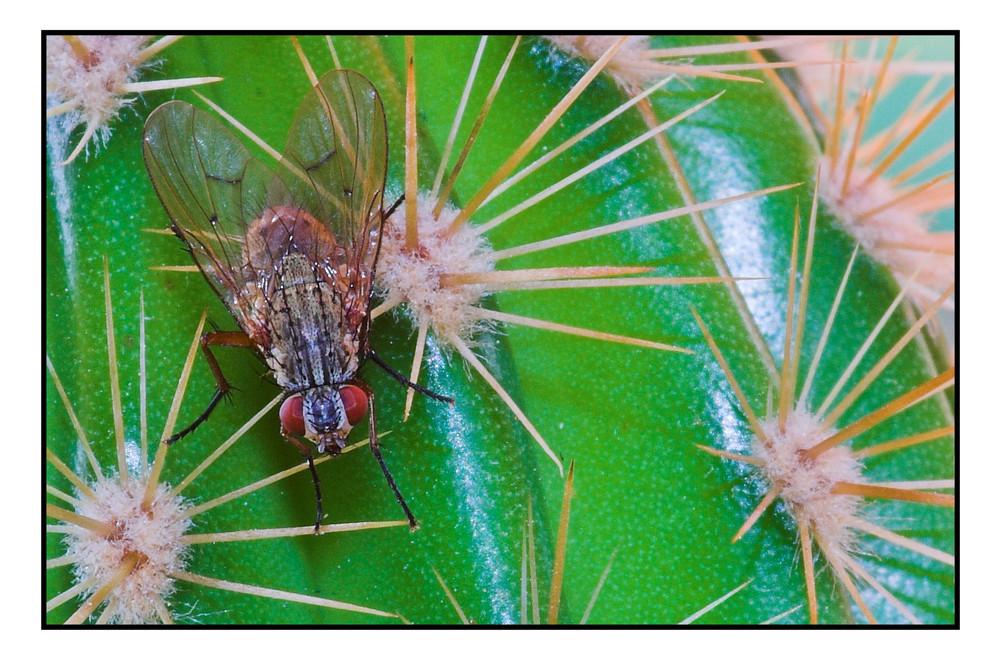 Fleischfliege (Sarcophaga carnaria) auf Kaktus