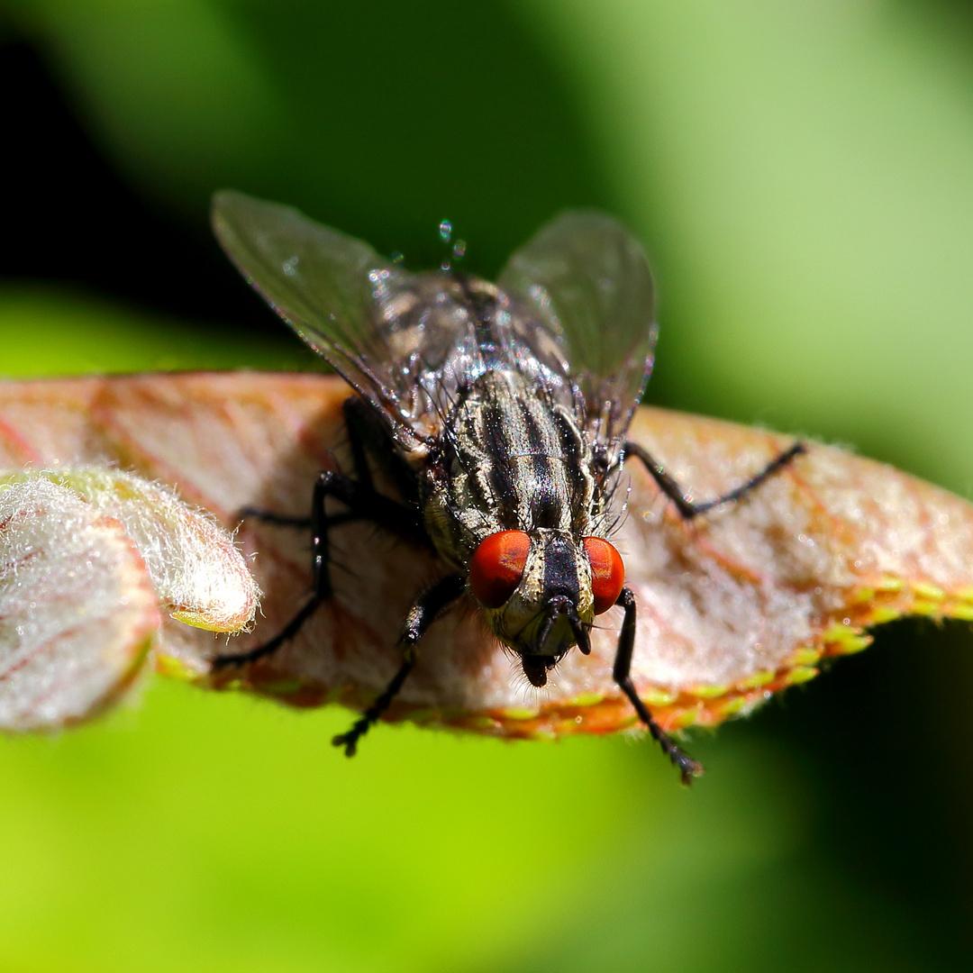 Fleischfliege (Sarcophagidae) (II)