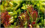 Fleischfressende Pflanzen der Moore __ (4)