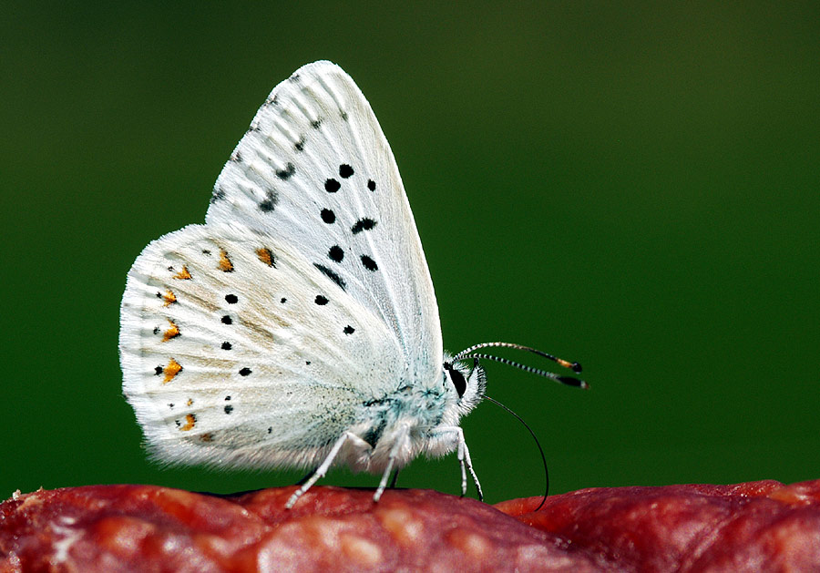 Fleischfressender Schmetterling