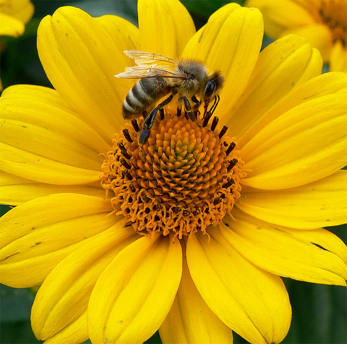 fleißig wie ein Bienchen
