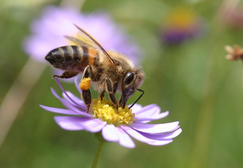 Fleissig wie immer, die Biene