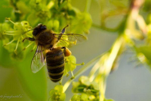 ***fleißige Biene bei der Arbeit :-)***