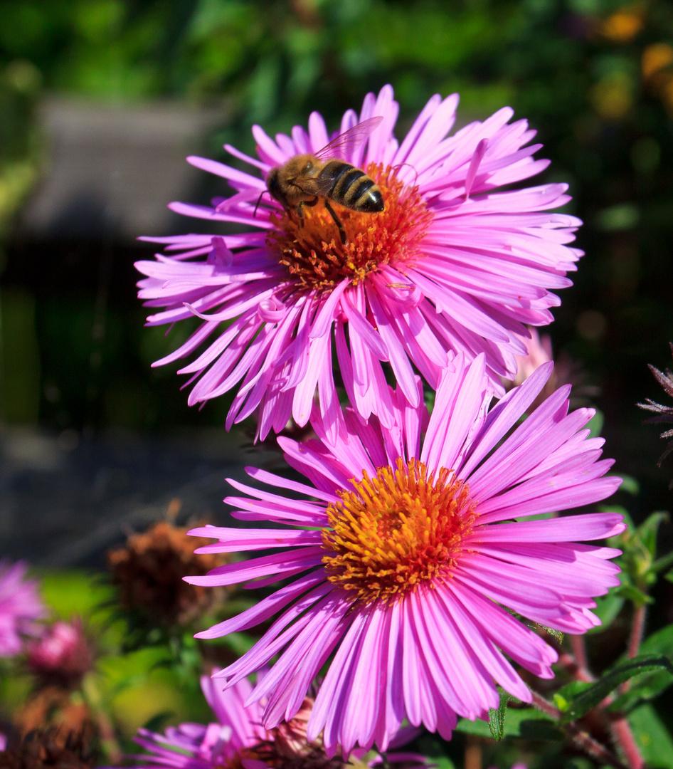 fleissige Biene beim Arbeiten ;-))