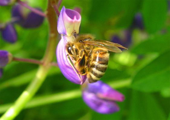 ... fleißige Biene ...