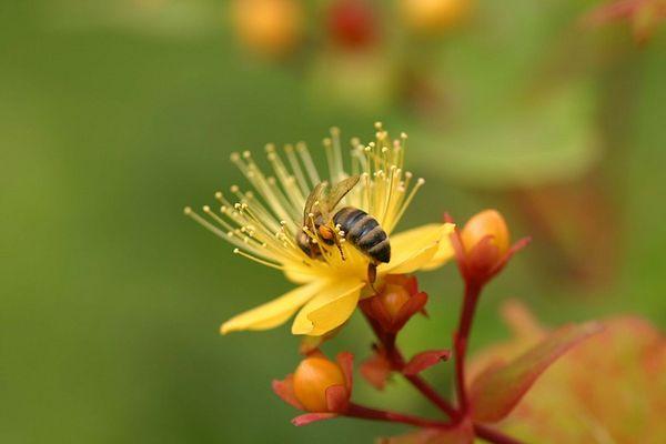 Fleissige Biene im Hausgarten