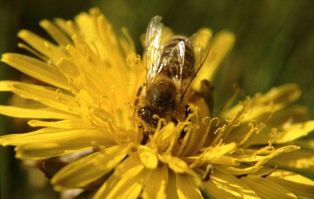Fleißige Biene im Löwnzahn