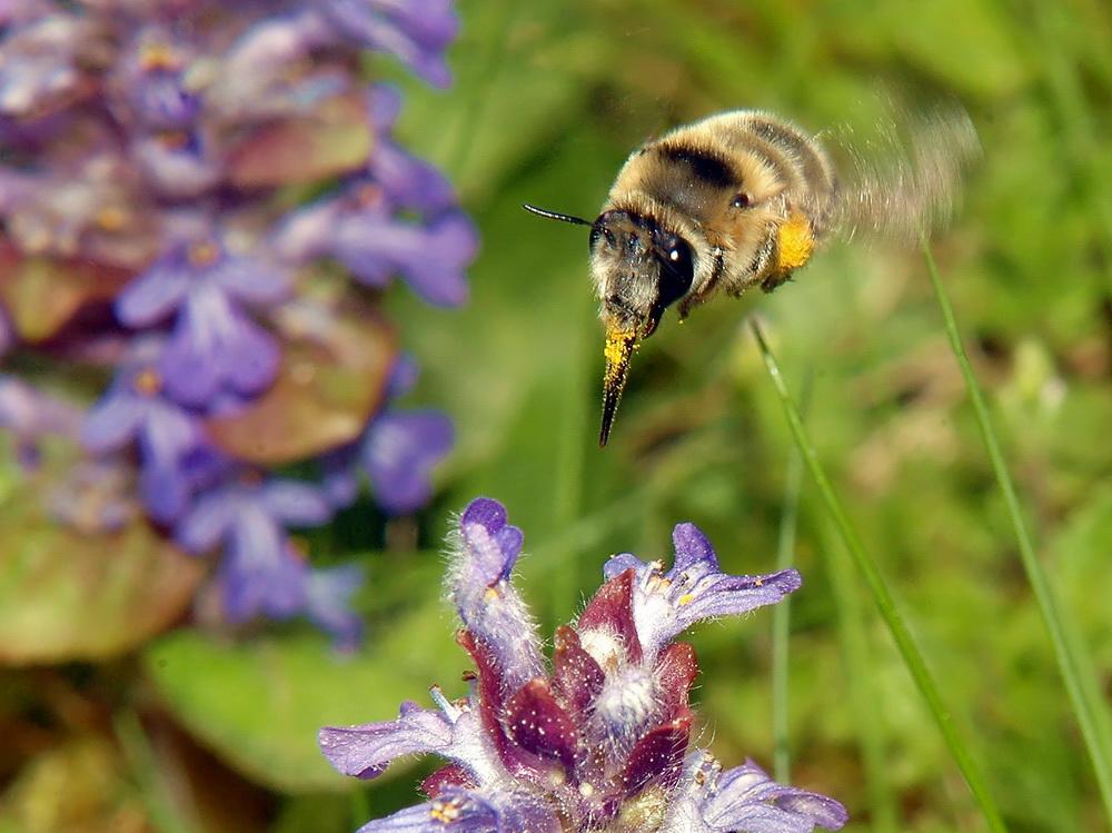 Fleißige Pollensammlerin im Anflug