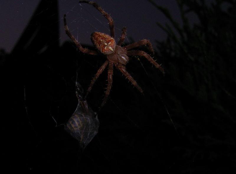 fleissige Spinne - auch am Abend
