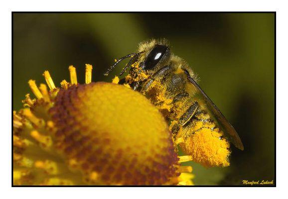 fleißige Wildbiene