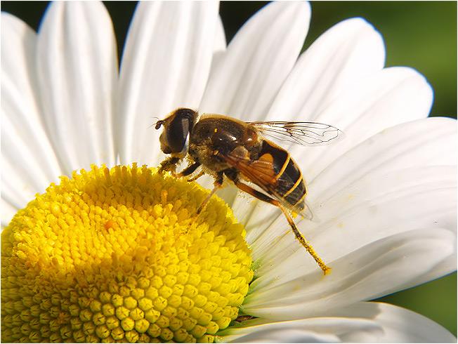 ......fleißiges Bienchen!