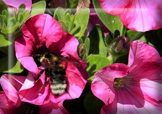 ...Fleißiges Bienchen...