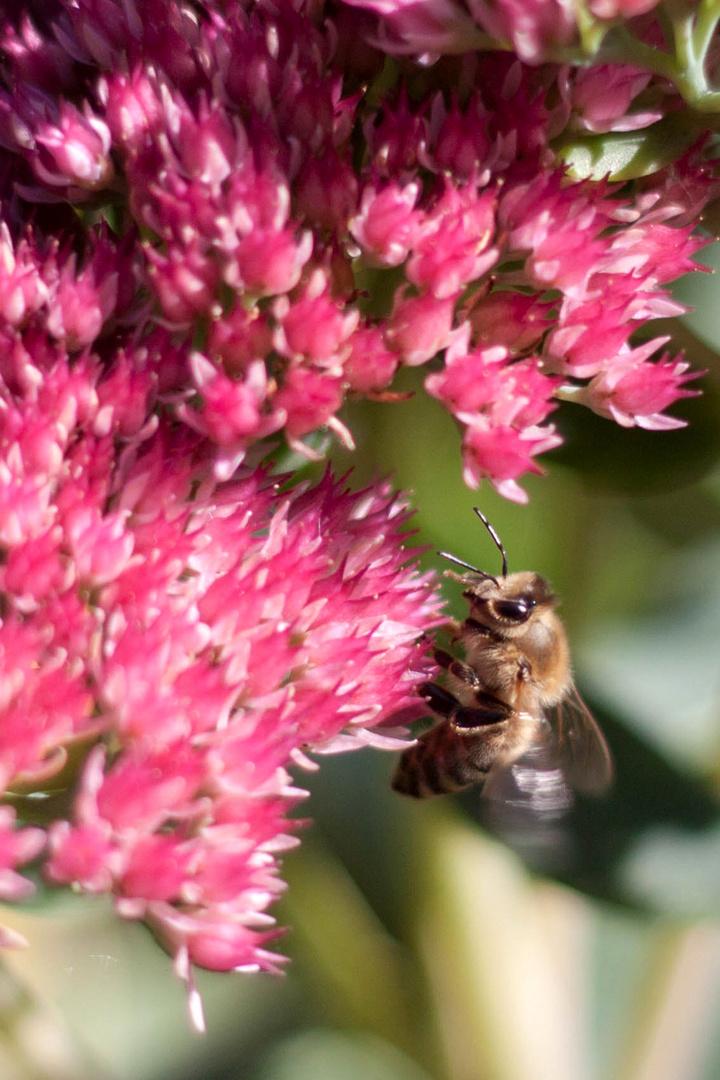 Fleißiges Bienchen auf der Suche